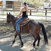 Mustang for adoption in Phelan, California - Shilo