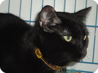 Domestic Shorthair Cat for adoption in West Lafayette, Indiana - April