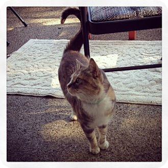 Domestic Shorthair Cat for adoption in Alamo, California - Fiona