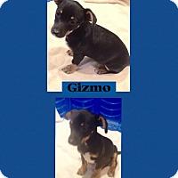 Adopt A Pet :: Gizmo meet me 9/18 - Manchester, CT