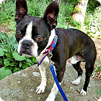 Adopt A Pet :: Rocco - ADOPTION PENDING - Greensboro, NC
