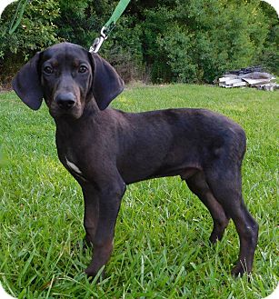 Labrador Retriever/Hound (Unknown Type) Mix Puppy for adoption in St. Francisville, Louisiana - Luke Duke