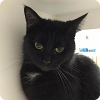 Domestic Shorthair Cat for adoption in Herndon, Virginia - Bailey