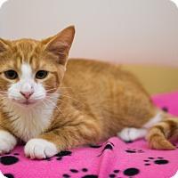 Domestic Shorthair Kitten for adoption in Mooresville, North Carolina - A..  Ozark