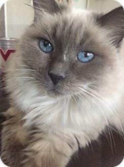 Birman Cat for adoption in San Antonio, Texas - Adora
