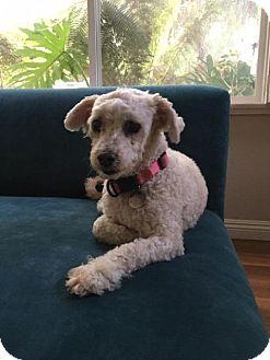 Poodle (Standard) Dog for adoption in El Cajon, California - Jeannie