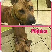 Adopt A Pet :: Pibbles - East McKeesport, PA