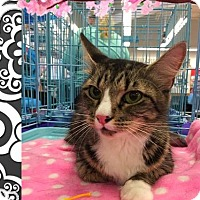 Domestic Shorthair Cat for adoption in Mansfield, Texas - Quinn