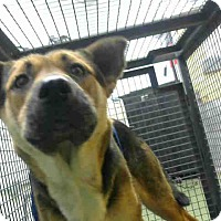 Shepherd (Unknown Type) Mix Dog for adoption in San Bernardino, California - URGENT 10/21 @ DEVORE