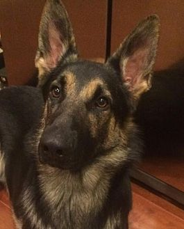 German Shepherd Dog Dog for adoption in Denver, Colorado - Billy Boy