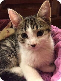 Domestic Shorthair Kitten for adoption in Maywood, Illinois - Addison