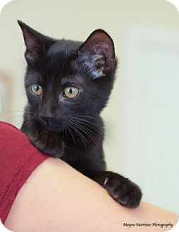 Domestic Shorthair Kitten for adoption in Homewood, Alabama - Parker