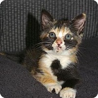 Adopt A Pet :: Izzy - Englewood, FL