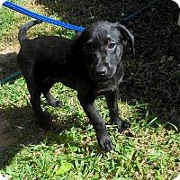 Labrador Retriever Puppy for adoption in Los Angeles, California - Nigel