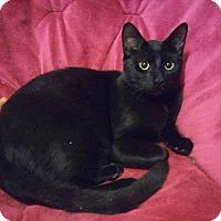 Domestic Shorthair Cat for adoption in Warren, Michigan - Black Cat