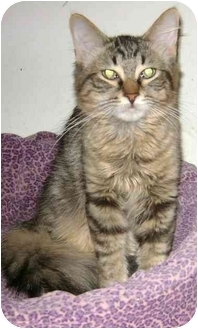 Domestic Mediumhair Cat for adoption in Etobicoke, Ontario - Stripy