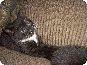 Domestic Shorthair Kitten for adoption in Horsham, Pennsylvania - Kiki