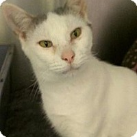 Domestic Shorthair Cat for adoption in Richboro, Pennsylvania - Emily
