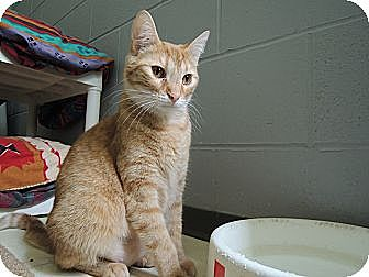 Domestic Shorthair Cat for adoption in House Springs, Missouri - Breanna
