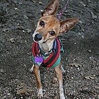 Chihuahua Mix Dog for adoption in Studio City, California - PEANUT