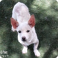 Chihuahua Mix Puppy for adoption in Phoenix, Arizona - Dempsey