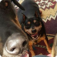 Adopt A Pet :: Dobie (needs retirement home) - Hollis, ME