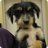 Adopt A Pet :: Kyla Kay - Charlemont, MA