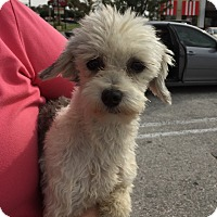 Adopt A Pet :: Holly - Havanese - St. Petersburg, FL
