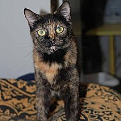 Photo 2 - Domestic Shorthair Cat for adoption in New Port Richey, Florida - Neely