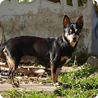 Adopt A Pet :: Tootsie the trained Chihuahua! - Deltona, FL