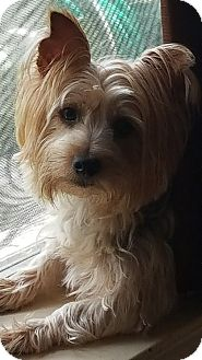 Silky Terrier Dog for adoption in Statewide and National, Texas - Lovey