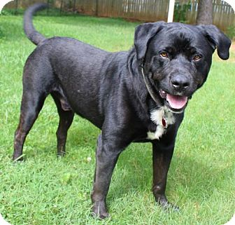 Rottweiler/Labrador Retriever Mix Dog for adoption in Rustburg, Virginia - Toby Bear: fostered