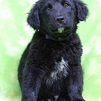Adopt A Pet :: GANNON - Westminster, CO