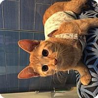 Adopt A Pet :: Little Elsa - El Segundo, CA