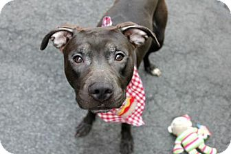 American Staffordshire Terrier/American Pit Bull Terrier Mix Dog for adoption in Kimberton, Pennsylvania - GEORGE