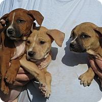 Adopt A Pet :: Boxer/Lab pups female - Unionville, PA