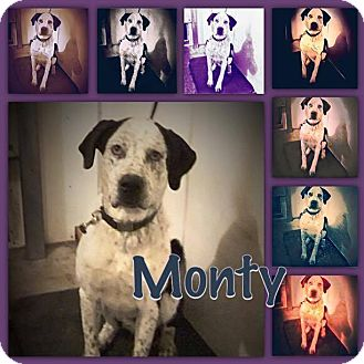 Great Dane Mix Dog for adoption in Calgary, Alberta - MONTY