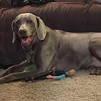 Weimaraner Dog for adoption in Grand Haven, Michigan - Gunner