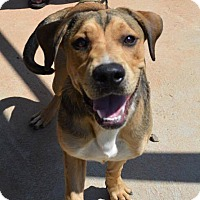 Labrador Retriever/Hound (Unknown Type) Mix Dog for adoption in Arlington, Massachusetts - Jerry