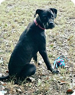 Boxer Mix Dog for adoption in Walden, New York - Sassy