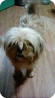 Shih Tzu/Maltese Mix Dog for adoption in Rexford, New York - Daisy