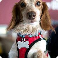 Adopt A Pet :: Dusty - Los Angeles, CA