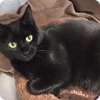 Domestic Shorthair Cat for adoption in Fairfax, Virginia - Padme