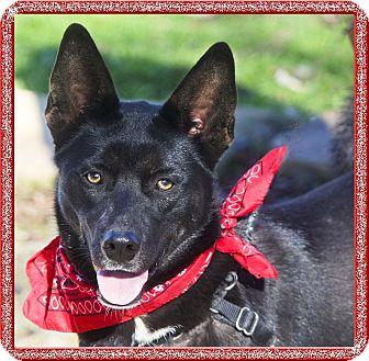 Basenji/Shepherd (Unknown Type) Mix Dog for adoption in Redding, California - Sophia smart girl, 8.5 months