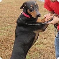 Doberman Pinscher Mix Dog for adoption in Elizabeth City, North Carolina - Bella Rally