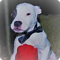 Adopt A Pet :: Piglet - Waupaca, WI