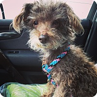 Adopt A Pet :: Poodle Abdul - Los Angeles, CA