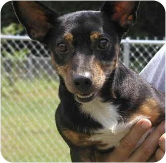 Dachshund/Blue Heeler Mix Dog for adoption in Graysville, Tennessee ...
