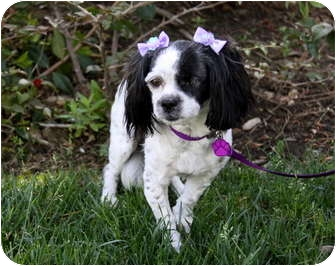 king charles spaniel shih tzu mix faye adopted dog newport beach ca cavalier king 2149