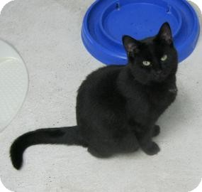 Domestic Shorthair Cat for adoption in Belleville, Michigan - Dusky
